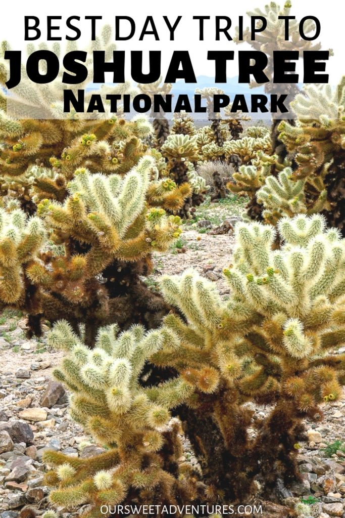 """Close up photo of cholla cactus with text overlay """"Best Day Trip to Joshua Tree National Park""""."""