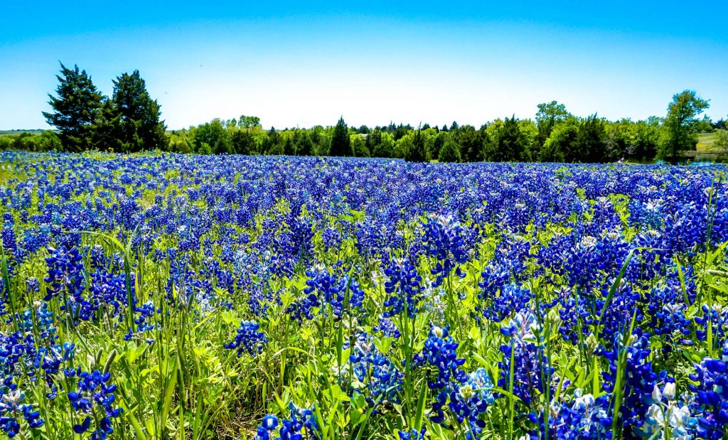 A vast field full of Ennis bluebonnets during a bright sunny day on the Ennis Bluebonnet Trail in Texas.