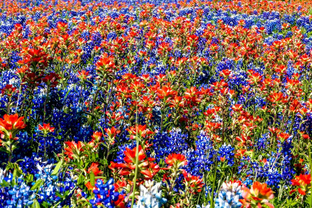 A close up on red wildflowers and bluebonnets on the Ennis Bluebonnet Trail.