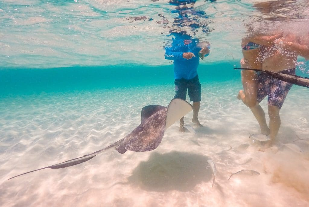 A stingray swimming up to greet people in Stingray City.