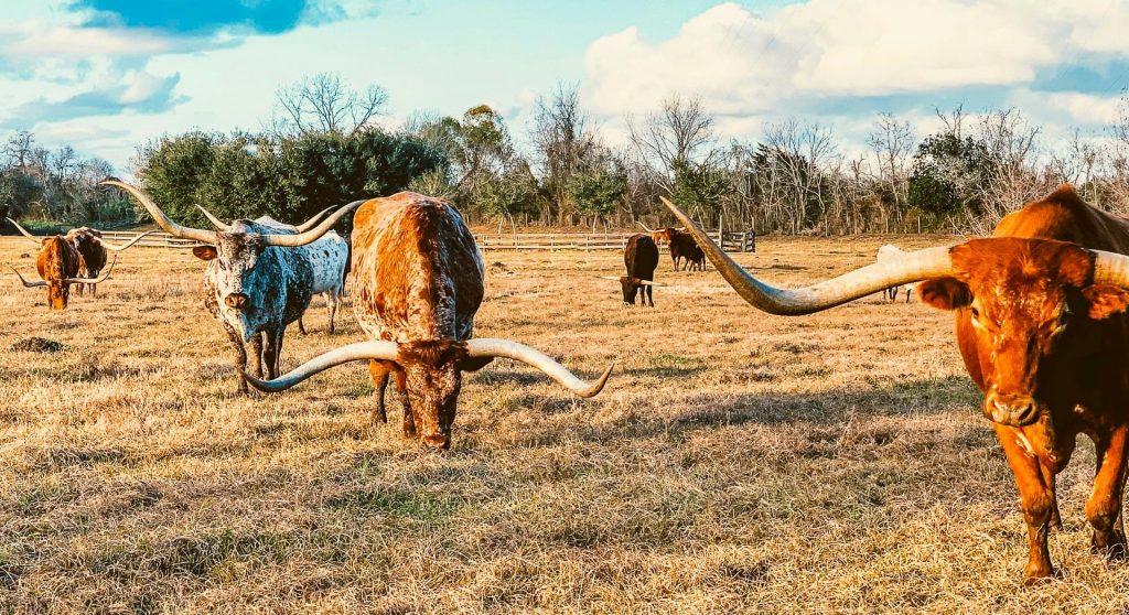 Several longhorns eating grass.