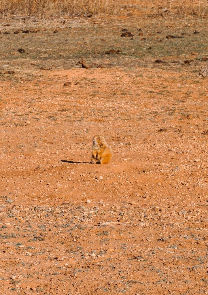 A prairie dog looking around while standing on two legs. Viewing the prairie dogs is one of the best things to do in Caprock Canyons State Park.